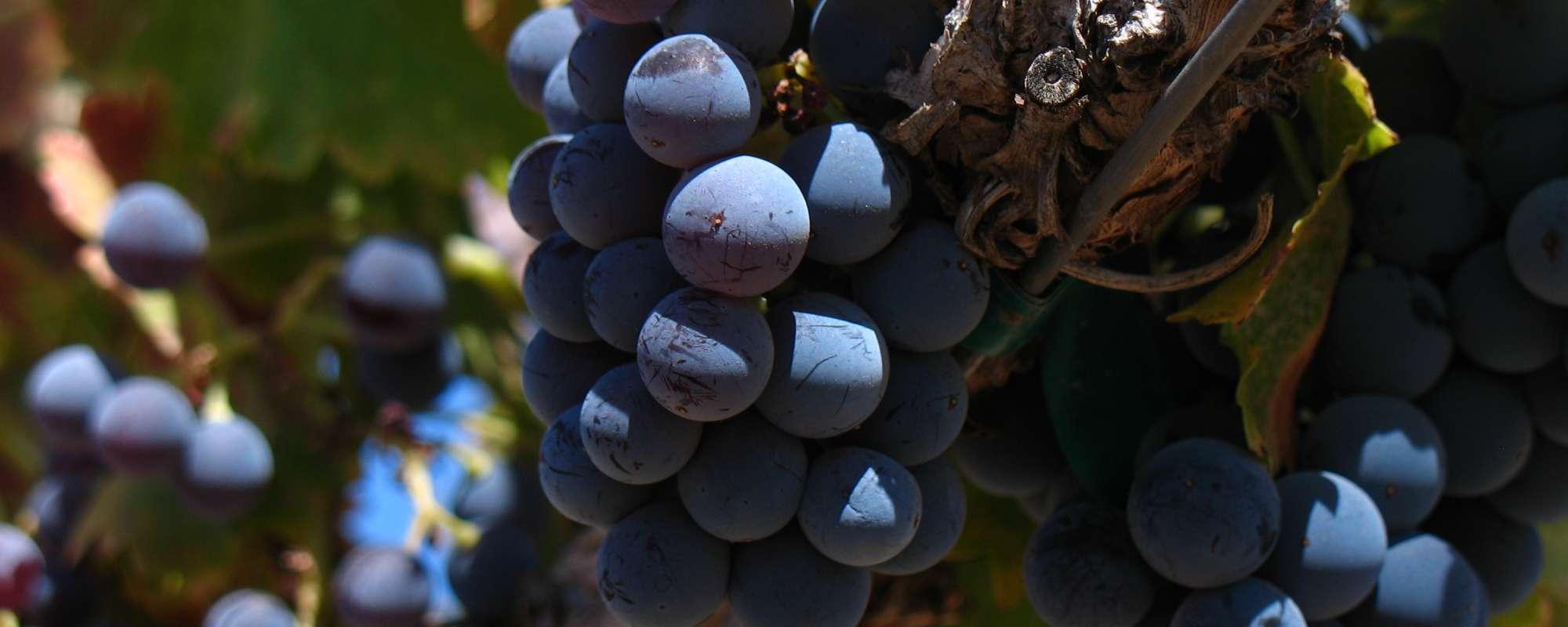 Close_up_of_Grenache_grape_cluster.jpg#asset:1004:x800